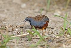 King quail Button Quail Blue-breasted quail Male Eating Stock Photos