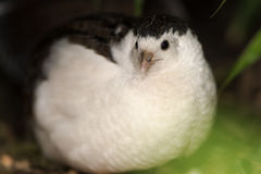 King quail (Excalfactoria chinensis) with focus on eye. Black and white bird in the family Phasianidae, the smallest true quail, aka the Chinese painted quail Royalty Free Stock Photo