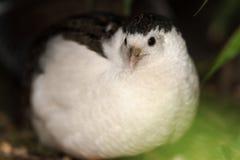 King quail (Excalfactoria chinensis) with focus on eye Royalty Free Stock Photo