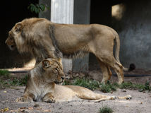 King and Queen. A photo of a lion stock photo