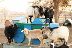 King and Queen Goats?. Several goats standing on a green and blue cart with two on the top level Stock Photography