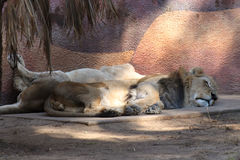 King and Queen sleep. Male and Female lions sleeping at the Los Angeles ZOO Stock Photo