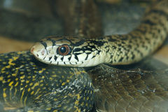 King rat snake Royalty Free Stock Photography