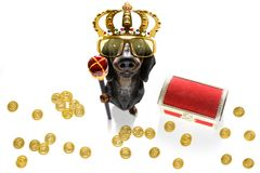 King rich money dog. Sausage dachshund dog as king with crown  looking and staring  at you ,while sitting on the ground or floor, isolated on white background royalty free stock photos
