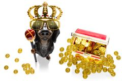 King rich money dog. Sausage dachshund dog as king with crown  looking and staring  at you ,while sitting on the ground or floor, isolated on white background royalty free stock images