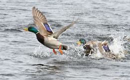 King of the River. Mallards fighting to be the king of the river Stock Image