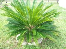 King Sago Palm Royalty Free Stock Images