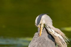 The king of Saint James Park royalty free stock photography