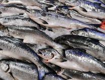 King Salmon Stock Photography