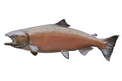 King salmon in blush color isolated on white. A big female king or chinook salmon in a color known as blush Royalty Free Stock Photography