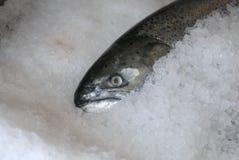 King Salmon on Ice Royalty Free Stock Photo