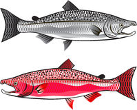 King Salmon. Silver and Spawning vector illustration