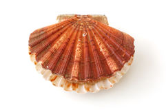 King scallop, saint jacques on white background. King scallop, saint jacques, pecten maximus, on white background royalty free stock image