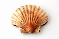 King scallop, saint jacques on white background Royalty Free Stock Photos