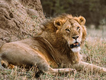King of the Serengeti Stock Images