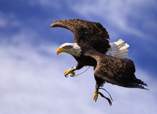 King of the Sky Royalty Free Stock Photo
