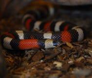 King snake. Black yellow and red kingsnake Stock Photo