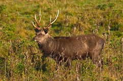 King of the stags. Large sika stag with amazing antlers stock photo