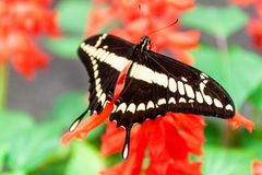 King Swallowtail butterfly. The King Swallowtail butterfly Papilio thoas in Mariposario The Butterfly House in Mindo, Ecuador royalty free stock images