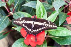 King Swallowtail butterfly. The King Swallowtail butterfly Papilio thoas in Mariposario The Butterfly House in Mindo, Ecuador stock photo