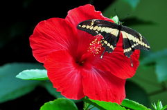 King Swallowtail Butterfly,Papilio thoas Royalty Free Stock Images