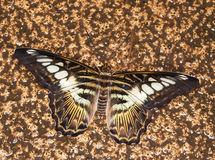 King swallowtail butterfly Royalty Free Stock Images