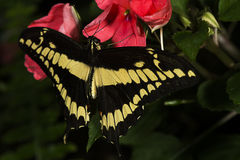 King Swallowtail Royalty Free Stock Photography