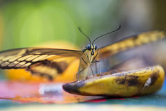 King Swallowtail Butterfly. Resting on a butterfly Stock Images