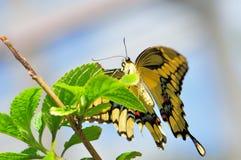 King Swallowtail (Papilionidae family) Royalty Free Stock Photo