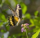King Swallowtail or Thoas Swallowtail (Papilio thoas) feeding on lantana. Royalty Free Stock Photography