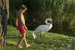 King of Swans. A boy is walking with the swans