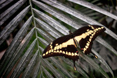 King or Thoas Swallowtail Yellow Butterfly on Leaf Stock Images