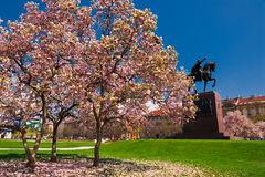 King Tomislav square in Zagreb. Croatia. Magnolia tree in blossom and  statue of King Tomislav on background Stock Photo
