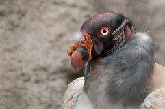 King Vulture. The King Vulture is a bird of the Andes Mountians Stock Images
