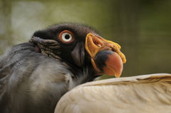 King vulture Stock Photo