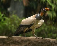King Vulture. A fully-grown king vulture getting ready to fly off Stock Image