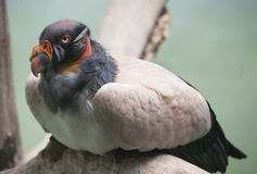King vulture 2 Royalty Free Stock Photos