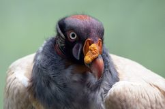 King Vulture. At the Bronx Zoo Stock Photography