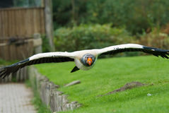 King Vulture Stock Photos