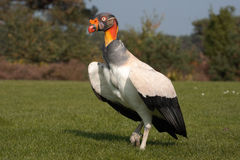 Free King Vulture Stock Image - 3384381