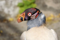 King Vulture. Head shot of a King Vulture Stock Photo