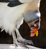 King Vulture Bird Stock Image