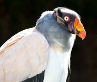 King Vulture Bird Stock Photography