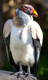 King Vulture Bird Stock Photos