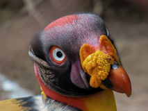 King vulture Royalty Free Stock Photo