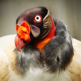 King Vulture Close Up Stock Images