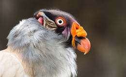 King vulture Royalty Free Stock Photography