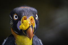 King Vulture. Closeup of a very colorful king vulture and stare Stock Photography