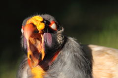 King vulture detail Stock Photos
