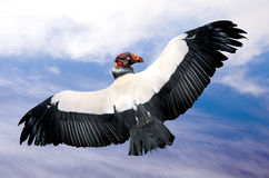 King vulture in flight (Sarcoramphus papa) Stock Images